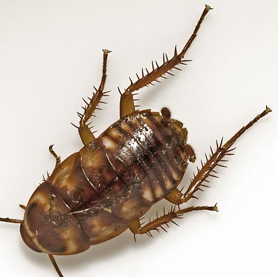 Roach ID  - Periplaneta australasiae
