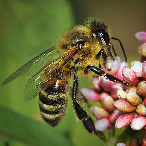 Honey Bee - Apis mellifera - female