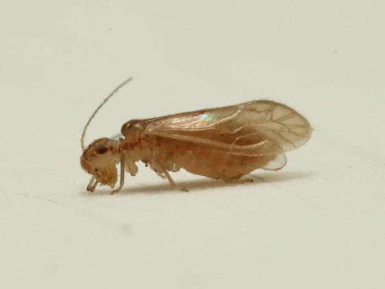 Valenzuela manteri - female