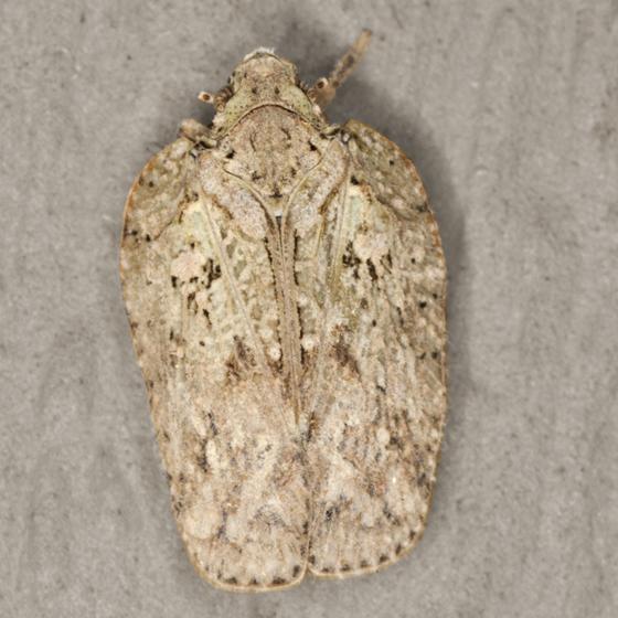 Flatid Planthopper - Flatoidinus
