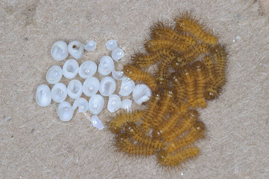 Newly hatched Io io larvae - Automeris io