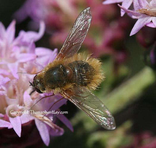 Bee Fly - Systoechus vulgaris