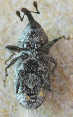 Madopterini ? - Sibariops concinnus