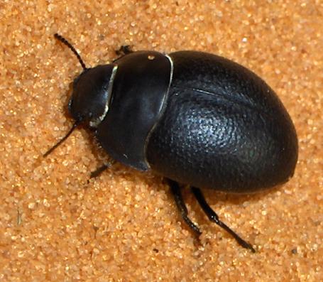Small Black Beetle At Dunes Eusattus Muricatus