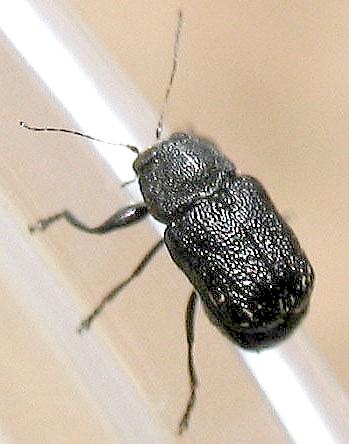 Another Cryptocephalus? - Pachybrachis nigricornis