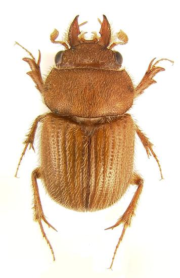 Uncommon ochodaeid - Codocera gnatho - male