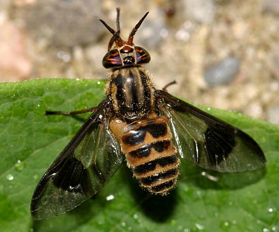 Deer Fly - Chrysops sackeni - female