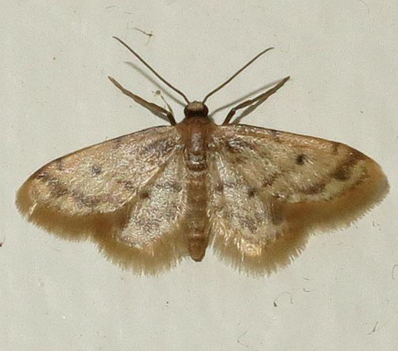 Kitchen Moth   Idaea Bonifata