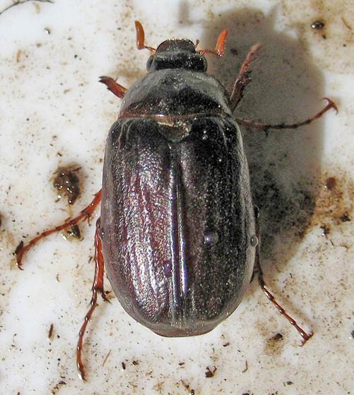 Scarab Beetle - Phyllophaga