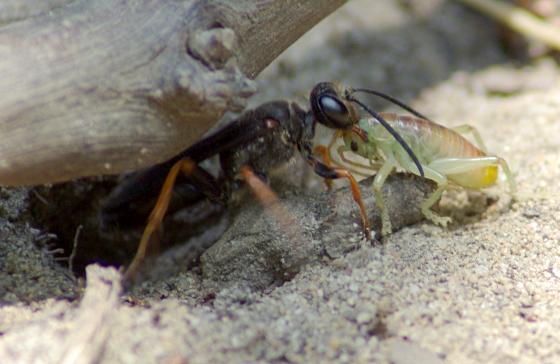 Cricket Wasp - Sphex nudus - female