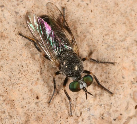 Fly 18 - Atomosia melanopogon