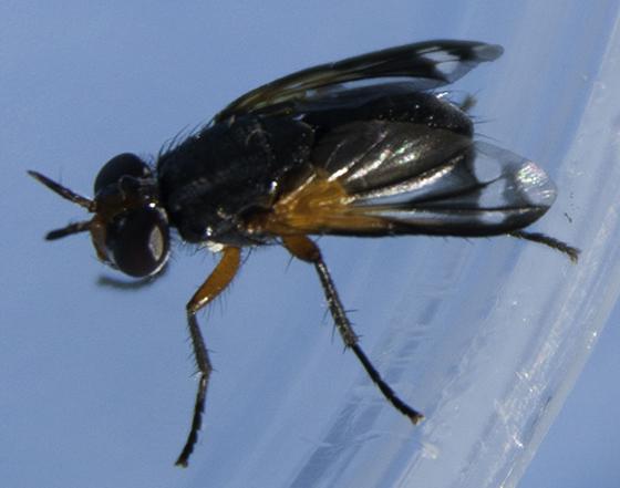 Euthera tentatrix? - Euthera tentatrix - female