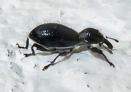 Unidentified Weevil - Myrmex