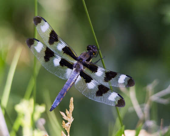 Twelve spotted skimmer, Loveland CO - Libellula pulchella - male
