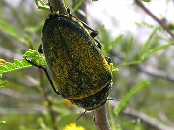 Gyascutus caelata - Gyascutus caelatus