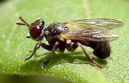 thick-headed fly - Thecophora
