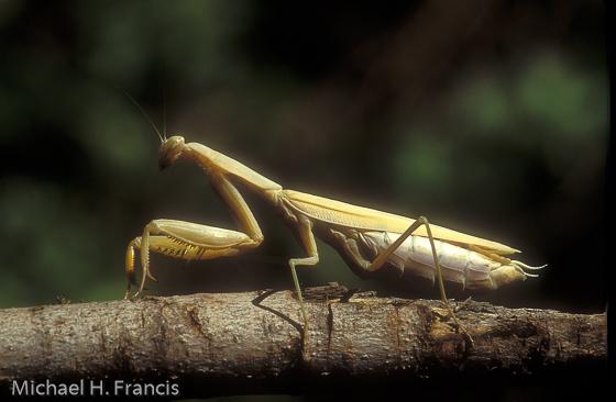 European Mantis - Mantis religiosa - female