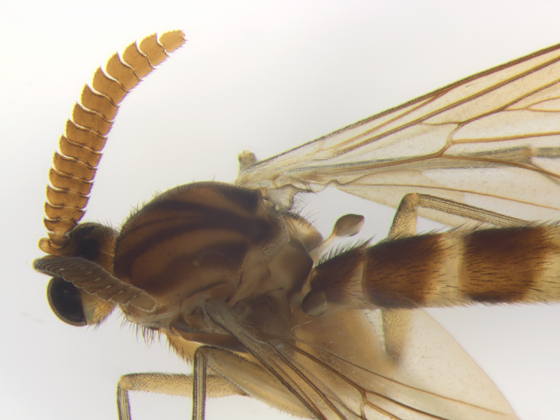 Keroplatus, thorax - dorsal - Keroplatus militaris - male