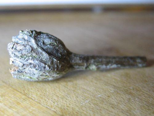 Ovoid nodules inside old Gnorimoschema baccharisella gall - Gnorimoschema baccharisella