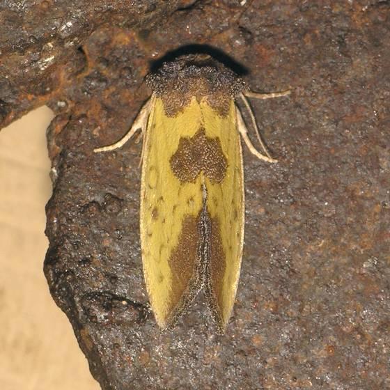 Yellow Sunflower Moth - Stiria rugifrons