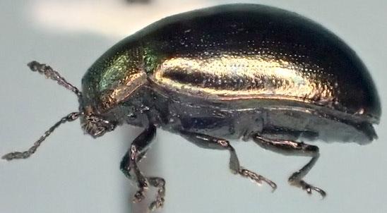 Plagiodera? - Phaedon prasinellus