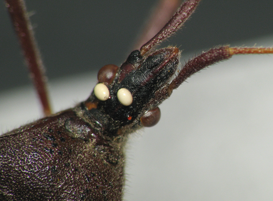 Leaf-footed bug with eggs on its head - Leptoglossus oppositus