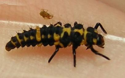 Lady beetle larva - Day 8 - Coleomegilla maculata