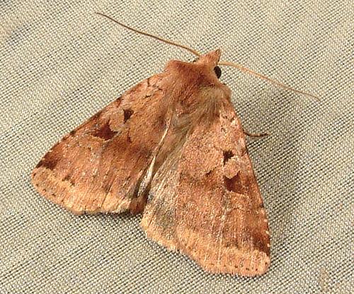 812 Diarsia esurialis [T] 10920 - Diarsia esurialis - female