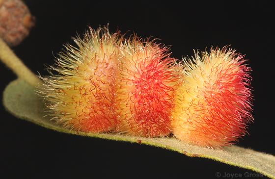 another short-haired fuzzy Arizona gall - Andricus sulfureus