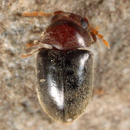 Anobiid - Tricorynus dichrous - male