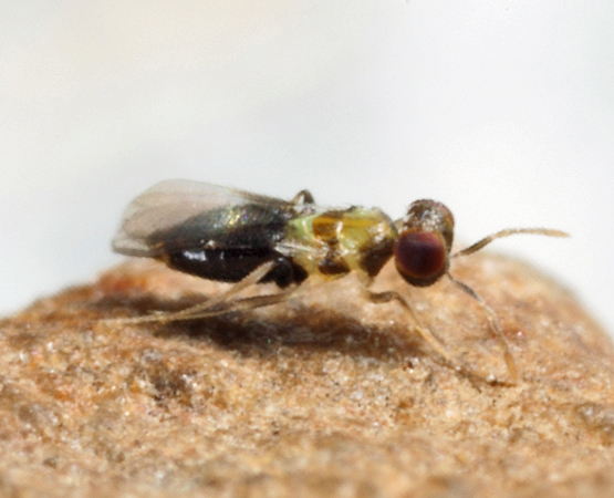 tiny wasp - Centrodora - female