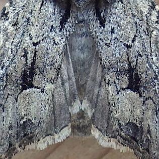 Noctuidae: Apamea longula - Apamea longula