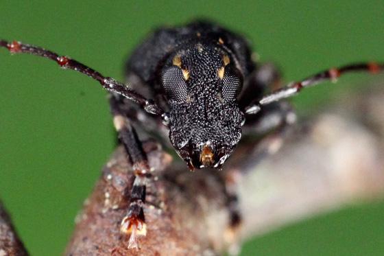 fungus weevil - Piesocorynus plagifer