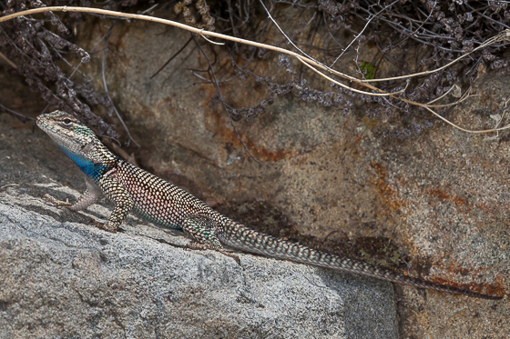 Mountain/Yarrow's Spiny Lizard (Sceloporus jarrovii) - male
