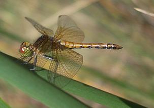 golden winged skimmer? - Sympetrum semicinctum