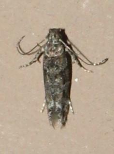 Unknown Gelechiinae - Symmetrischema