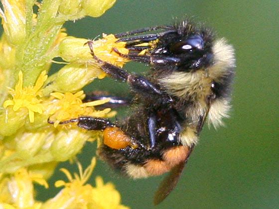 Bombus rufocinctus? or Bombus melanopygus? - Bombus ternarius - female