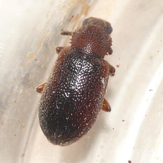 Darkling beetle (2) - Paratenetus punctatus