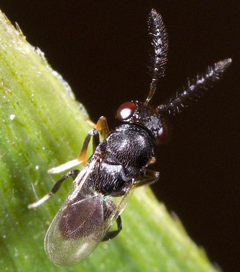 Wasp ID