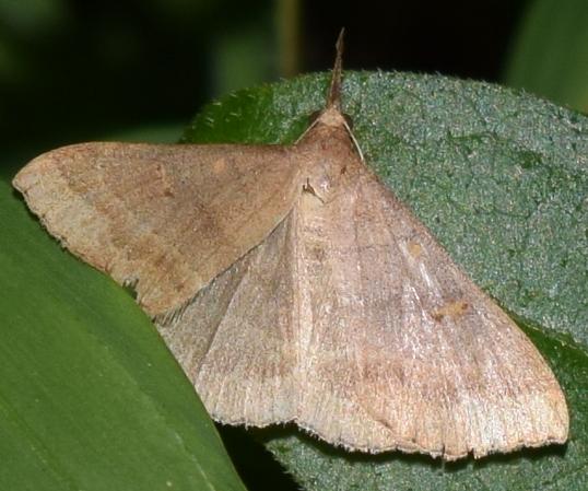 Moth in Springside