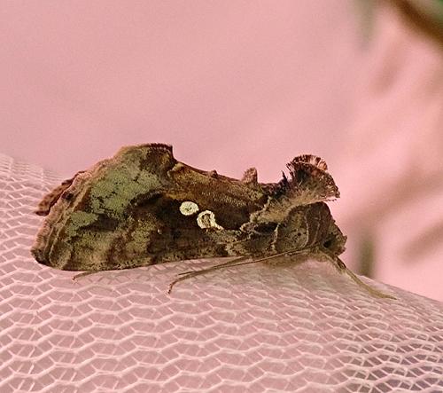 Noctuidae species - Chrysodeixis includens