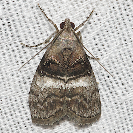 Maple Webworm Moth - Hodges#5606 - Pococera asperatella