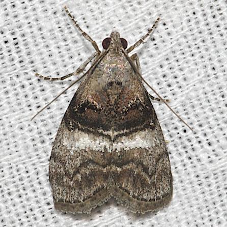 Maple Webworm Moth - Hodges#5606 - Pococera asperatella
