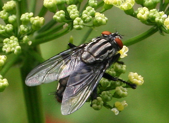 Which striped fly is this, please?