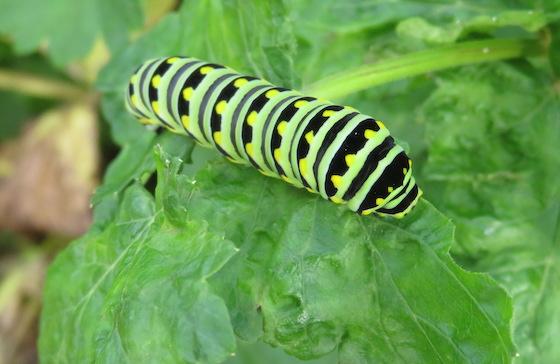Larva, Black Swallowtail? - Papilio polyxenes