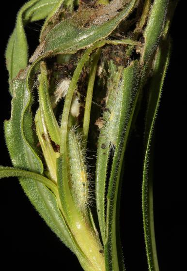 Plume moth larvae