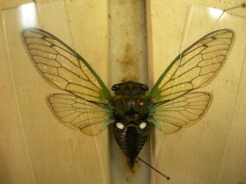 Tibicen tibicen australis (FEMALE 002a) - Neotibicen tibicen - female