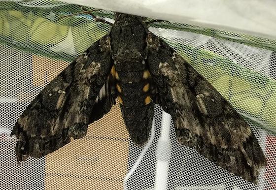 Mystery Sphingidae found in backyard. - Cocytius antaeus