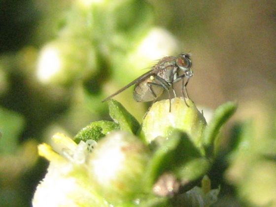 Small fly (?) on coyote brush (Baccharis pilularis)