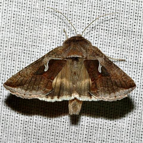 Celery Looper Moth - Anagrapha falcifera